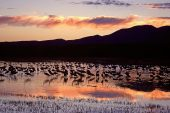 Sandhill cranes Grus canadensis at sunset Bosque del Apache National Wildlife Refuge New Mexico USA
