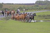 New Forest ponies during drift near Brockenhurst New Forest National Park Hampshire England