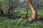 Ramsons Allium ursinum growing beside the Avon Water stream Wootton Bridge New Forest National Park