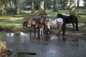 New Forest pony by the Ober Water stream at Ober Corner near Brockenhurst New Forest National Park Hampshire England