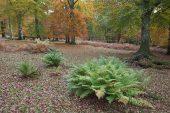 Lady fern Athyrium filix femina Mark Ash Wood New Forest National Park
