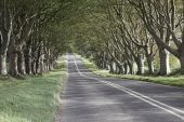 Beech trees lining the B3082 near Badbury Rings Dorset