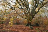 Ancient beech Fagus sylvatica woodland Savernake Forest Wiltshire England UK