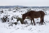 Pony on snow covered heathland eating gorse Mogshade Hill New Forest National Park Hampshire England UK