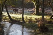 Pony beside the Black Water stream Dames Slough Inclosure New Forest National Park Hampshire England UK