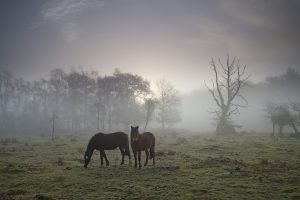 New Forest ponies in mist on grassland beside Brinken Wood Warwickslade Bottom New Forest National Park Hampshire England UK