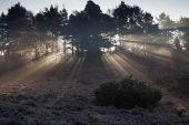 Light rays through Scots pine Pinus sylvestris with early morning mist and frost Rockford Common New Forest National Park Hampshire England UK
