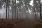 Scots pine Pinus sylvestris woodland in early morning mist Roydon Woods Hampshire and Isle of Wight Wildlife Trust Reserve near Romsey New Forest National Park