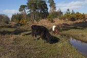 Cattle beside restored stream in Slufters Inclosure New Forest National Park Hampshire England UK April 2016