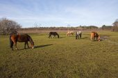 New Forest ponies grazing on Longwater Lawn New Forest National Park Hampshire England UK April 2016