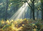 Rays of light in misty oak wood Broomy Inclosure New Forest National Park Hampshire England UK