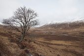 Rowan Sorbus acuparia tree in Glen Dubh Morvern Scotland United Kingdom