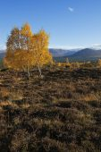 View to the Cairngorm mountains from Rothiemurchus Forest Cairngorm National Park Highland Region Scotland UK October 2015