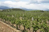 Vineyards near Caterragio Corsica France