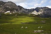 Sheep grazing on alpine meadow in the bowl of the Cirque de Troumouse Hautes Pyrenees Pyrenees National Park France