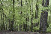 Beech Fagus sylvaticus woodland Bosque del Irati Pyrenees Navarra Region Spain