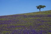 Cork oak Quercus suber on rolling plains covered in wild flowers Castro Verde Alentejo region Portugal