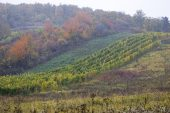Vineyard in autumn Zempelin Hills Hungary