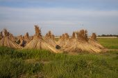 Thatching reeds stacked for drying on farmland Tiszaalpar Hungary May 2014