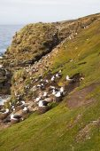 Black-browed albatross Thalassarche melanophrys colony at The Rookery Saunders Island Falkland Islands