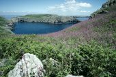 Red campion Skomer Island off the Pemrokeshire coast Wales UK