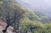 Sessile oak Quercus petraea woodland in spring near Rhayader Powys Wales UK