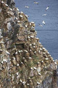 Northern gannet Sula bassana nesting colony Troup Head