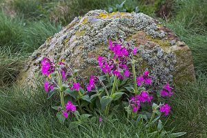 Red Campion beside lichen-covered rock