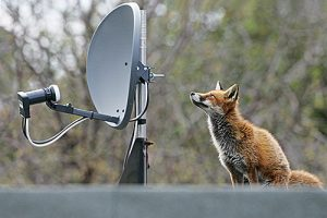 Red fox Vulpes vulpes young female sat beside satellite dish on flat roof of house extension