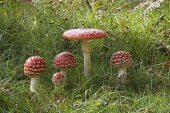 Amanita muscaria Fly agaric New Forest National Park Hampshire England