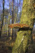 Piptoporus betulinus Birch polypore New Forest National Park Hampshire England