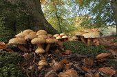 Honey fungus Armillaria mellea New Forest National Park Hampshire England