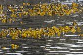 Oarweed Laminaria digitata Loch Linnhe Scotland
