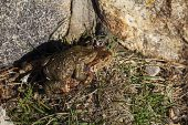 Common toad Bufo bufo pair on the way to breeding pool Strathdearn Highland Region Scotland UK