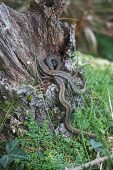 Viviparous lizard Lacerta vivipara basking on log captive collection individuals