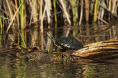 Red-eared slider Trachemys scripta elegans resting on fallen cattail, B.A. Steinhagen Lake, Martin Dies Jr State Park, Texas, USA, December 2017