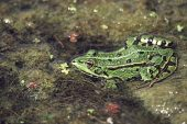 Edible frog Rana esculenta in a pool Northern France