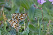 Glanville fritillary Melitaea cinxia pair mating Loire Valley Centre Region France