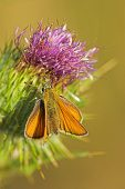 Small skipper Thymelicus sylvestris on thistle flower Ringwood Hampshire England