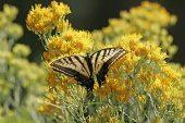 Two-tailed swallowtail Papilio multicaudatus Arizona USA