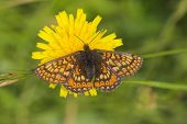 Marsh fritillary Euphydryas aurinia on flower of hawkweed species, Martin Down National Nature Reserve, Hampshire, England