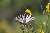 Scarce swallowtail Iphiclides podalirius on broom Vercors France
