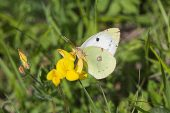 Clouded yellow Colias crocea Vercors France