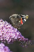 Red admiral Vanessa atalanta on buddleia in garden Ringwood Hampshire England