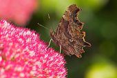 Comma butterfly Polygonia c-album on sedum flower in garden Ringwood Hampshire England