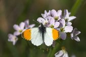 Orange tip Anthocharis cardamines butterfly male on Cuckooflower Scotland May 2009