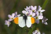 Orange tip Anthocharis cardamines butterfly male on Cuckooflower Scotland May 2009