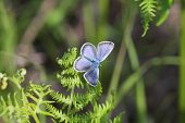 Silver-studded blue Plebejus argus male butterfly on bracken New Forest National Park Hampshire England