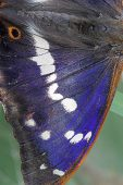 Purple emperor Apatura iris freshly emerged male butterfly Bentley Wood National Nature Reserve Wiltshire England