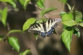 Eastern tiger swallowtail Papilio glaucus resting on a leaf